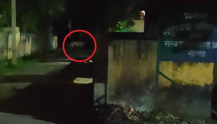 गोंडा DM आवास सहित शहर में कई स्थानों पर घूम रहा तेंदुआ: सांय 6:00 बजे के बाद निकलने पर अलर्ट जारी, तेंदुआ देखने पर प्रशासन को तुरंत दे सूचना